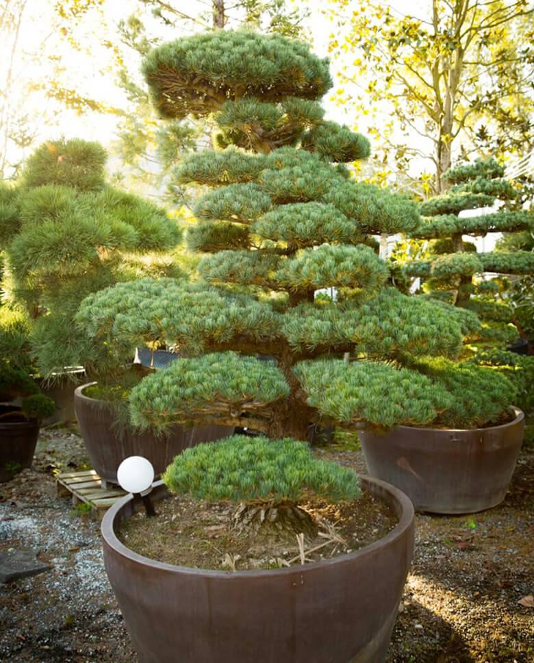 Japonské bonsaje Agapé