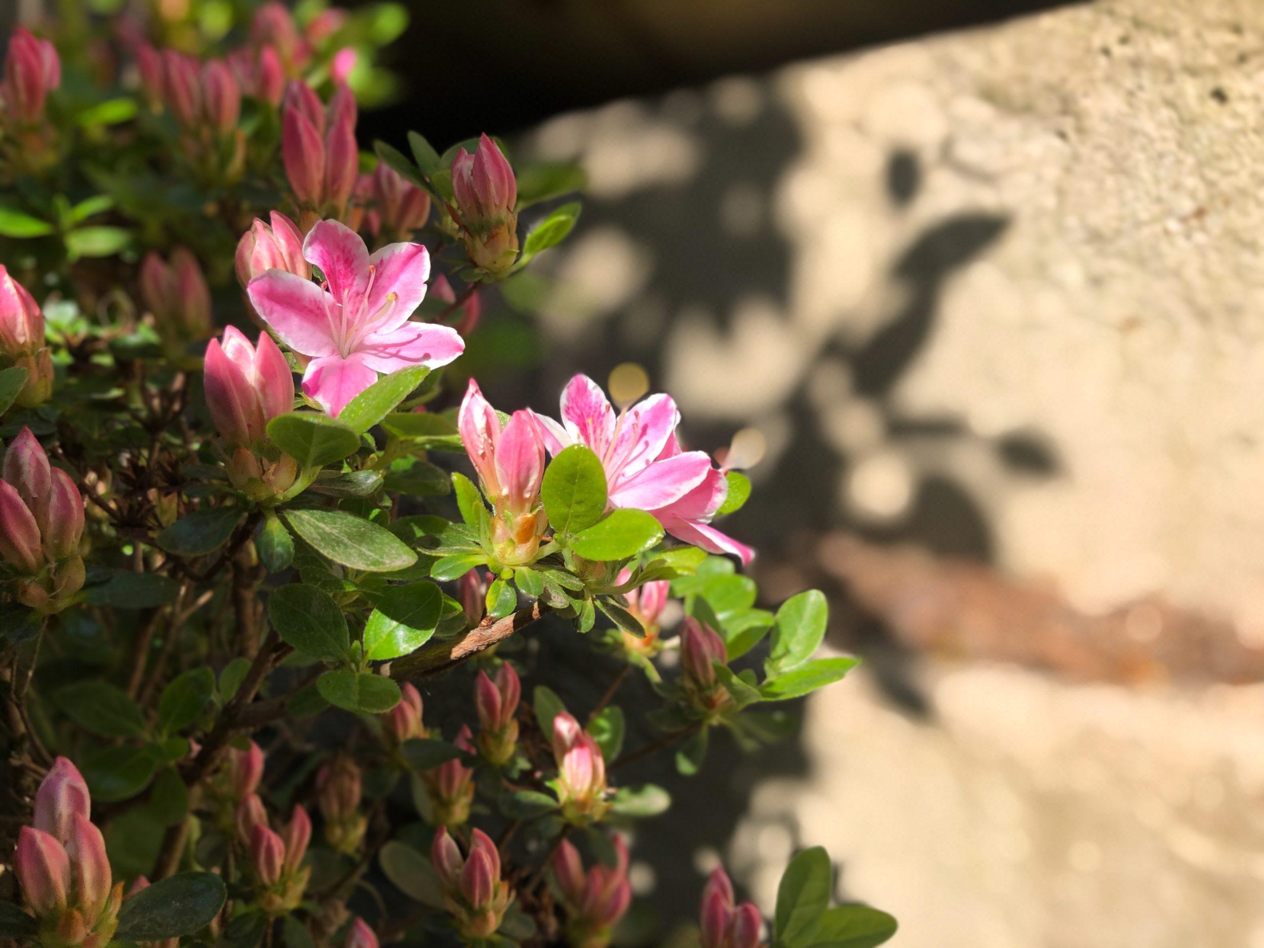Kvety vo Vašej záhrade – Rododendróny a azalky